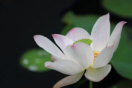 Lotus Flower closeup with soft background