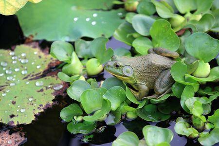 frog on lily pad: Rain frog on lily pad enjoying the rain