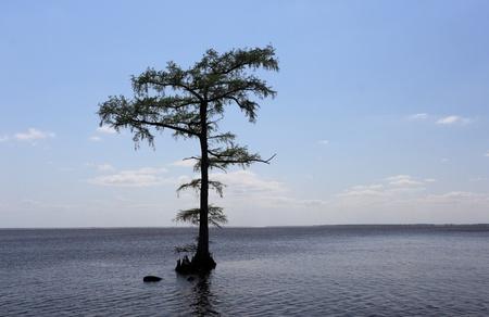 cypress tree: Cypress tree in waterscape