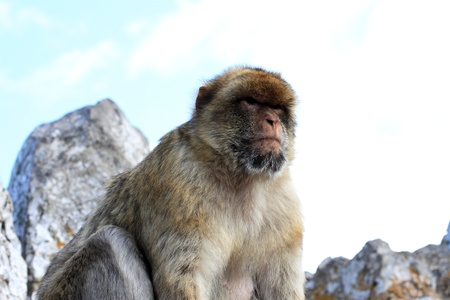 Barbary Ape sitting on top of a rock in Gibraltar