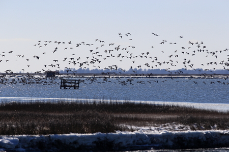 Flying geese during winter with snow and ice over water Imagens