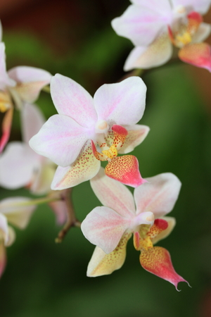 Pink and White orchid with green