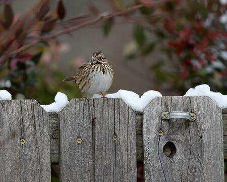 Small finch bird during winter sitting on fence 版權商用圖片