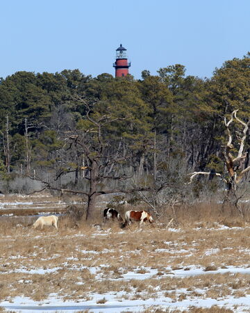 Chincoteague Island wild ponies with lighthouse