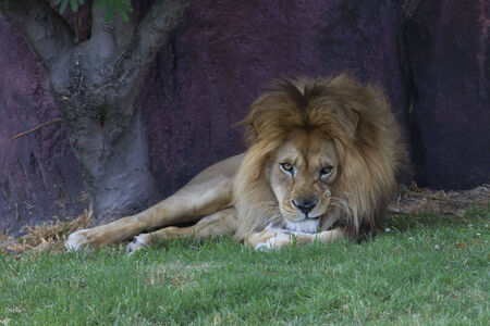 Male Lion lounging in the shade