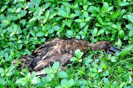 dead duck: Dead duck in the field