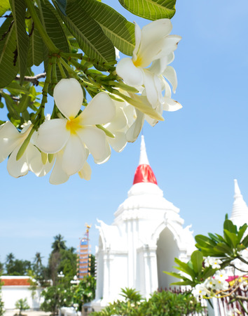 White Plumerias in the Buddhist temple Stock Photo