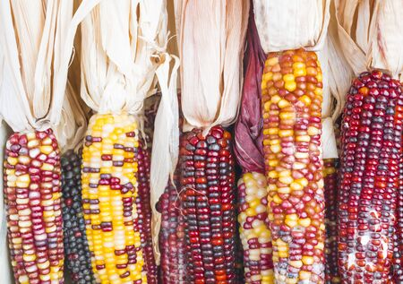 yellow corn: A roll of recently harvested corn in red, yellow and purple colors.