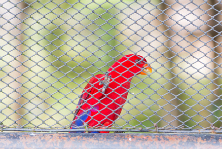 Red parrots birds inside in a cage