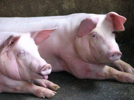 cerdos: 2 Cerditos