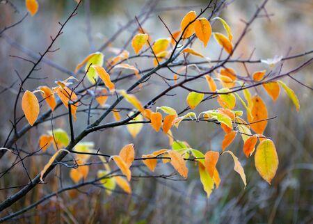 senescence: Frozen autumn leaves Stock Photo