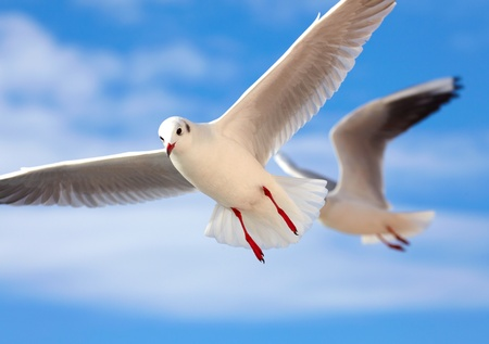 wingspread: Seagull Stock Photo