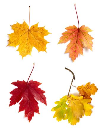 guelder: Autumn leaves isolated on white background Stock Photo