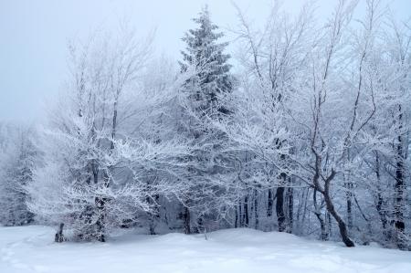 bosque con nieve: �rboles en invierno
