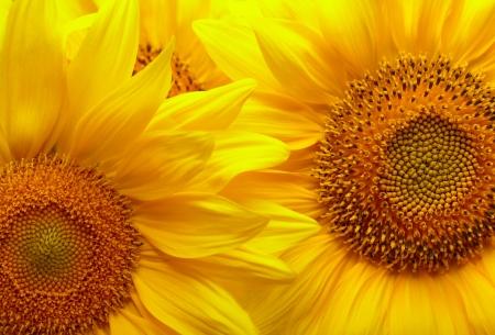 Sunflowers background photo
