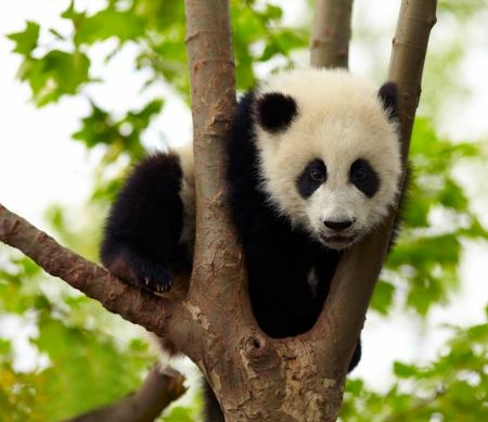 oso panda: Bebé panda gigante en el árbol Foto de archivo