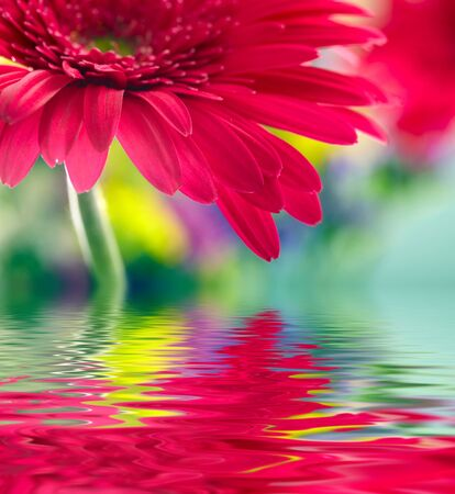 Closeup of pink daisy-gerbera reflected in the water photo