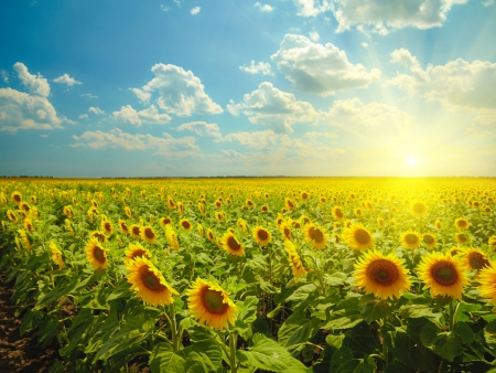 sunflowers field: Sunflowers