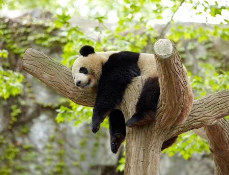 oso panda: Dormir bebé panda gigante
