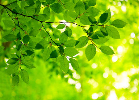 beech leaf: Green leaves background