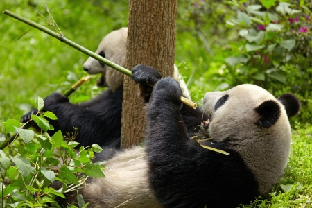 rare animals: Giant panda eating bamboo