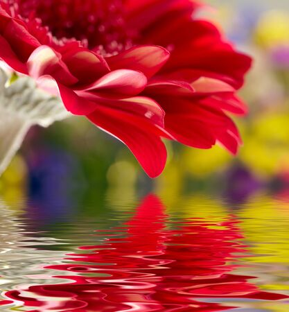Red daisy-gerbera with soft focus reflected in the water photo