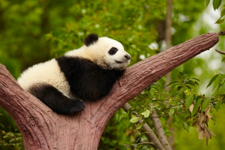 oso panda: Dormir bebé panda