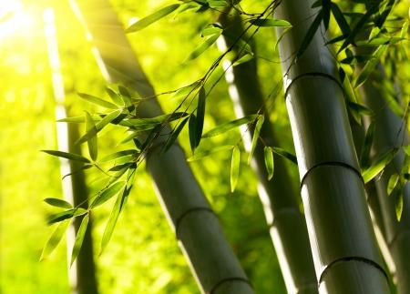 japones bambu: Bosque de bamb� de fondo. DOF