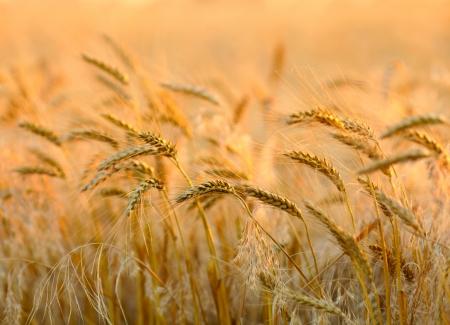 wheat field: Sunset wheat field