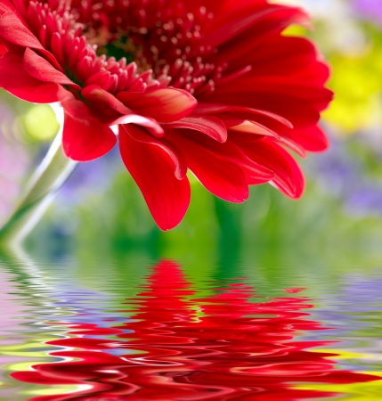 Closeup of red daisy-gerbera reflected in the water photo
