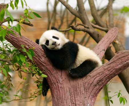 Sleeping giant panda baby photo