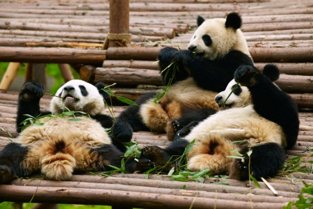 bamboo forest: Giant panda bears