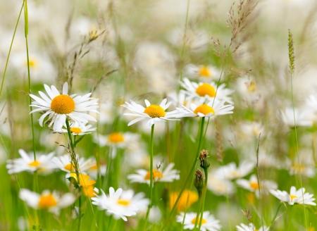 white daisy: White and yellow daisies. Shallow DOF