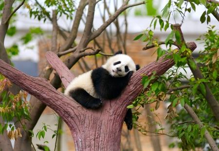 Sleeping giant panda baby photo