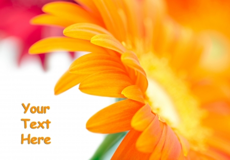 orange gerbera: Closeup photo of yellow daisy-gerbera with space for text Stock Photo