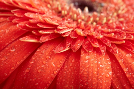 Red daisy-gerbera with waterdrops photo