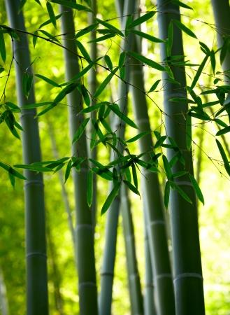 bamboo background: Bamboo forest background. Shallow DOF Stock Photo