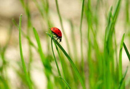 Ladybug on green grass. Shallow DOF photo