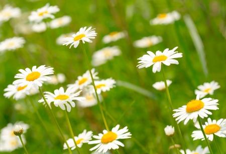 White and yellow daisies Stock Photo - 17196083
