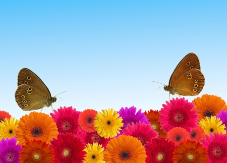 gerber flowers isolated on: Daisy flower background  Stock Photo