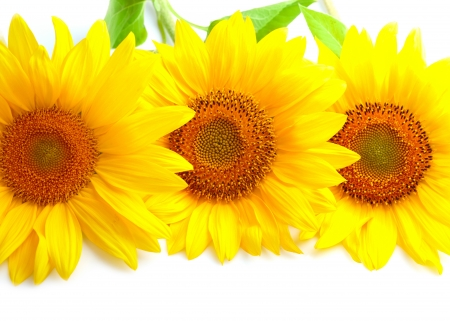 Three sunflowers with copyspase  photo