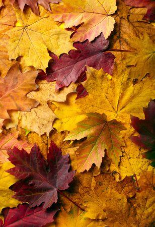 senescence: Autumn leaves background