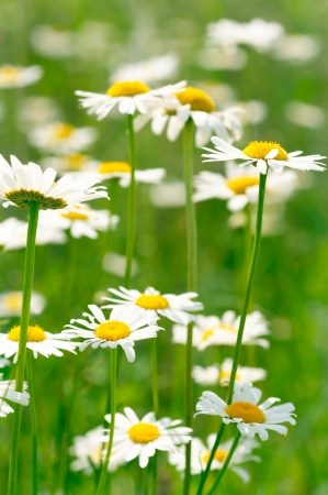 White and yellow daisies Stock Photo - 17196355