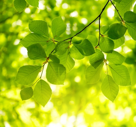 beech tree: Green leaves background