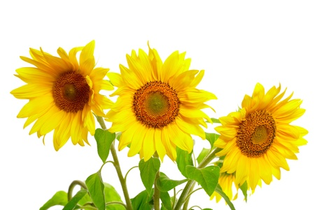 Three sunflowers isolated on white background photo