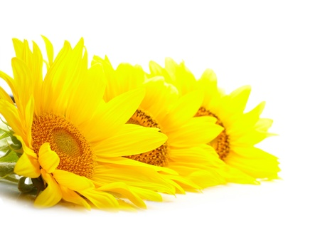 Three sunflowers isolated on white background  photo
