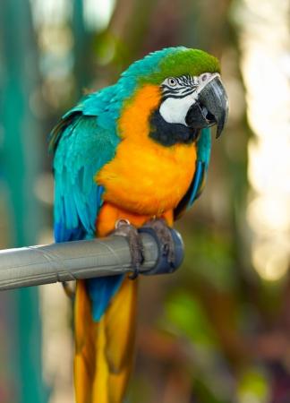 río amazonas: loro pájaro posado en la percha