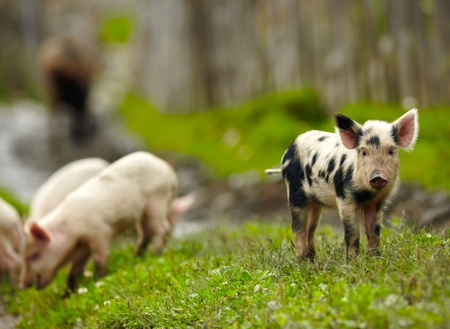 piglets: Little pigs on a farm