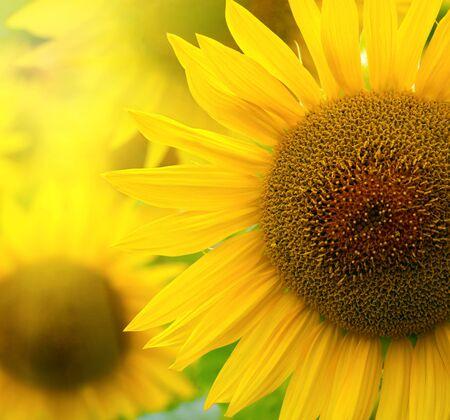 orange industry: Sunflowers