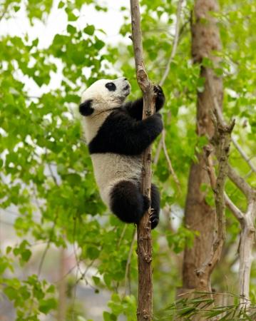 Giant panda baby over the tree Stock fotó